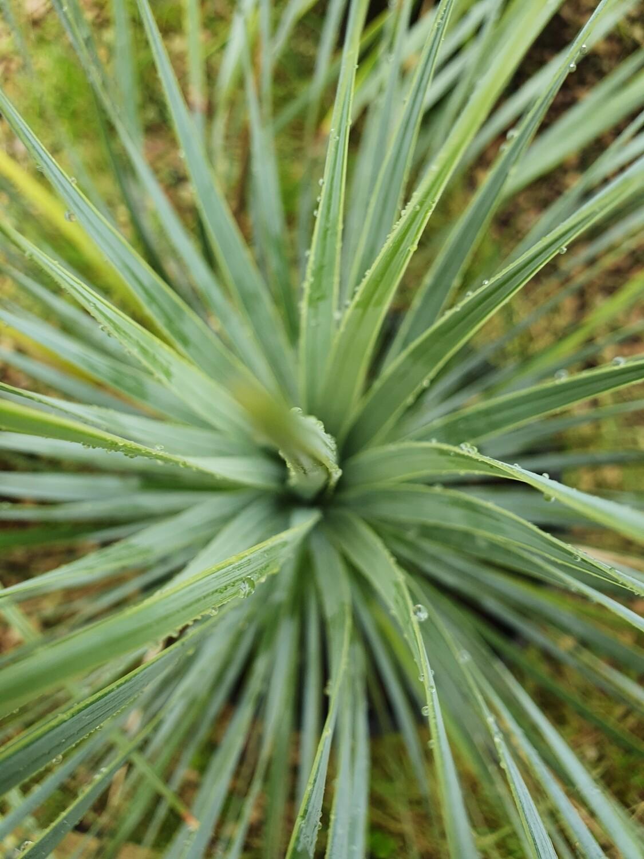 Yucca rostrata, pot de 10L