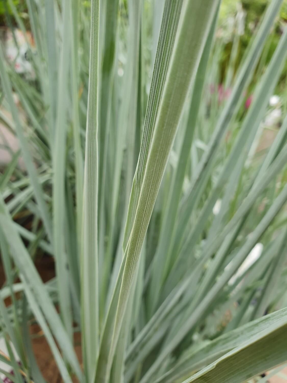Leymus arenarius 'Blue dune', pot de 4,5L