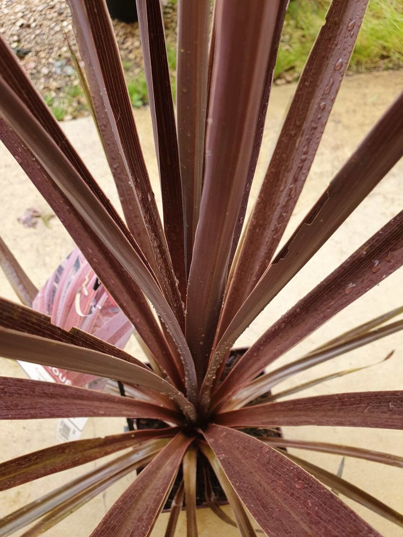 Cordyline 'Red star', pot de 3L