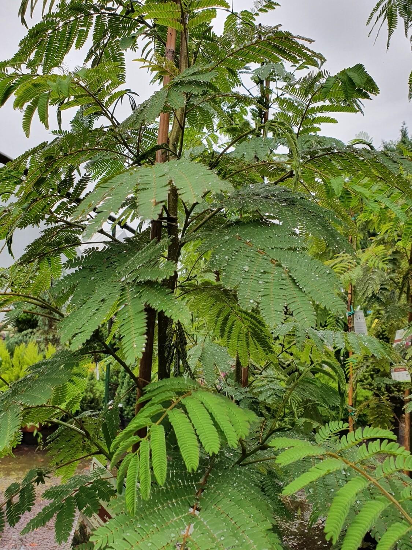 Albizia julibrisin ombrella 'Bougri', pot de 15L, baliveau