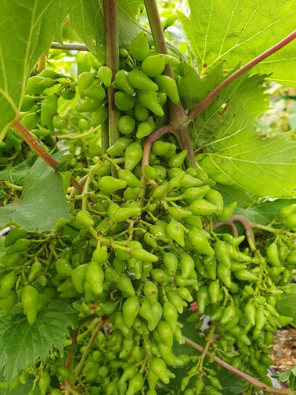 Vitis vinifera 'Philipp' cov, palissé, pot de 15L