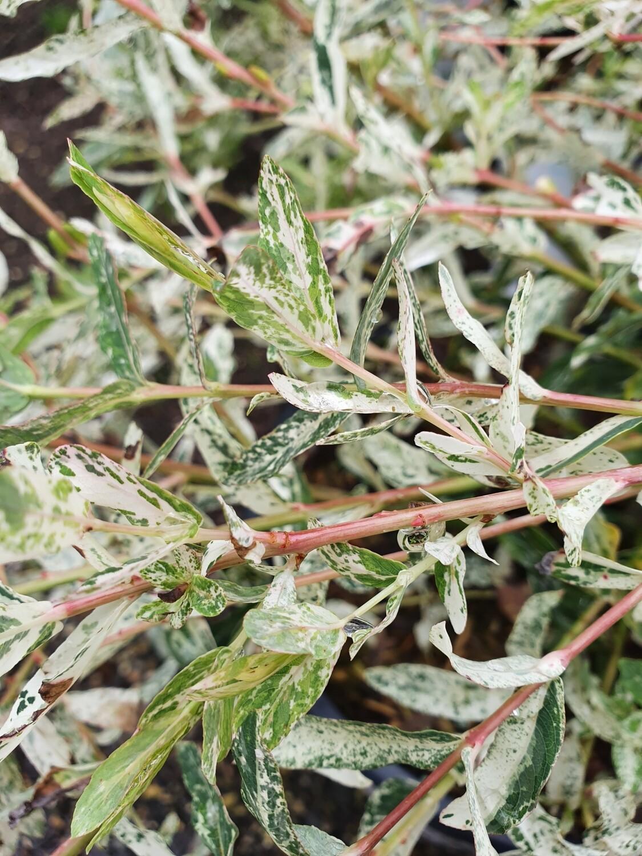 Salix integra 'Hakuro nishiki', pot de 4,5L