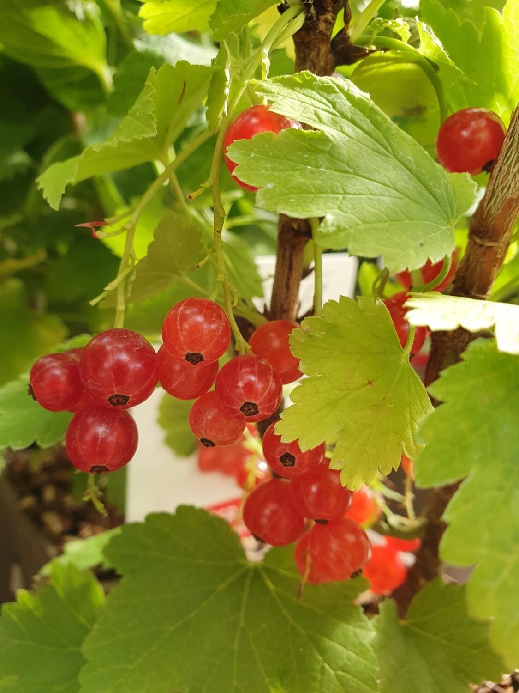 Ribes rubrum 'Jonkheer van Tets', pot de 1,5L