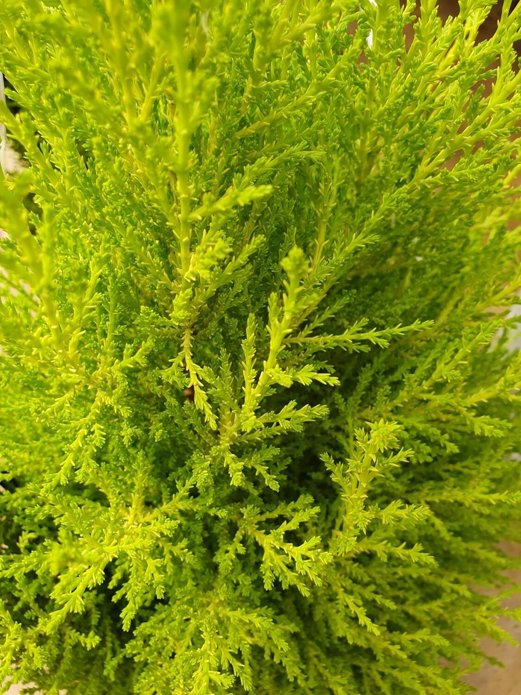 Cupressus macrocarpa 'Wilma', pot de 3L