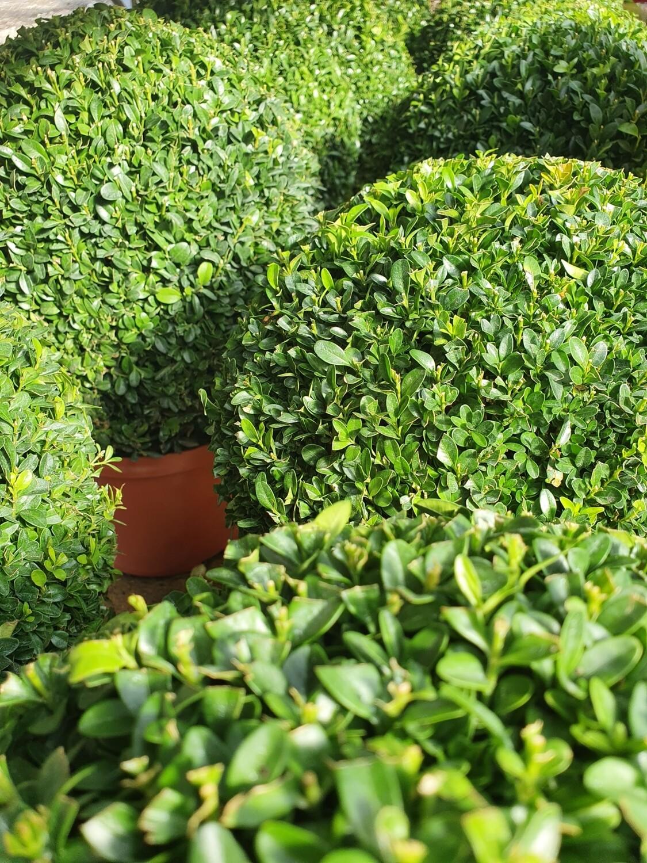Buxus sempervirens, boule en pot de 5L