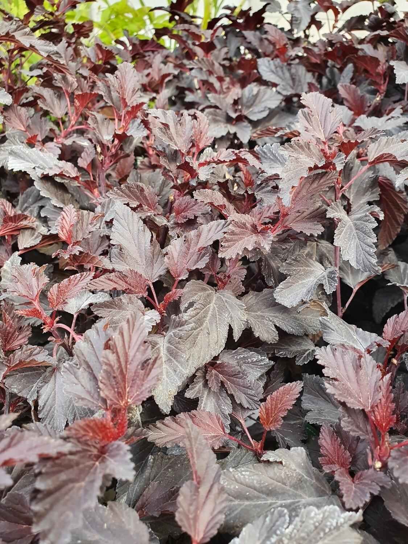 Physocarpus opulifolius All Black 'minall2', pot de 4,5L