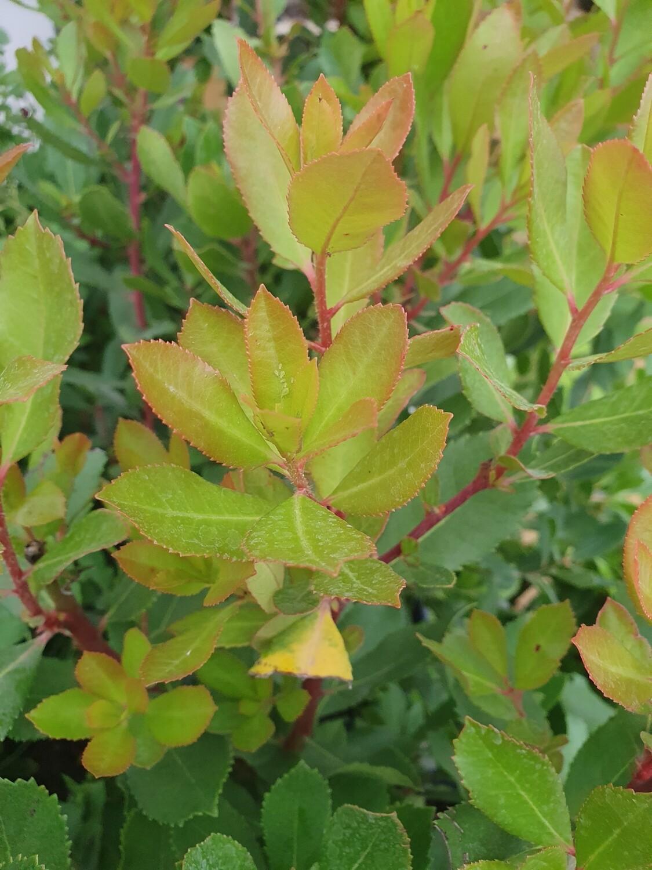 Arbutus unedo Roselily Minlily, pot de 4,5L