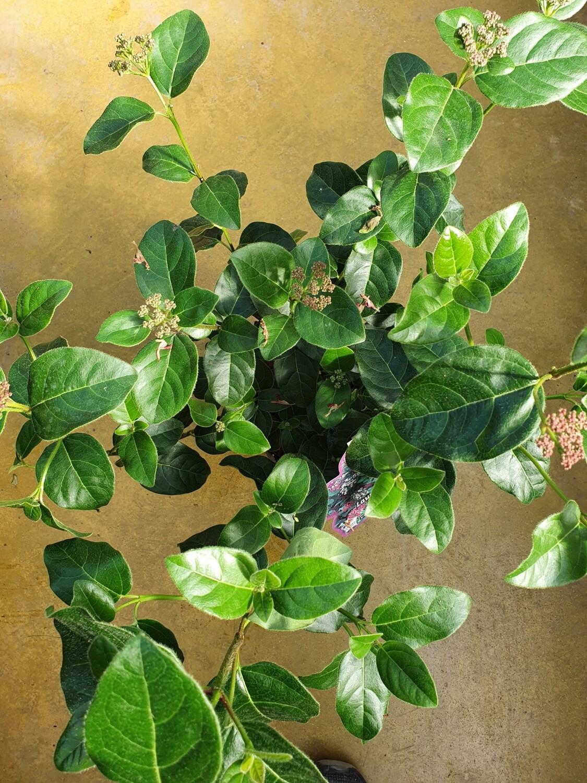 Viburnum tinus Lisa rose, pot de 3L