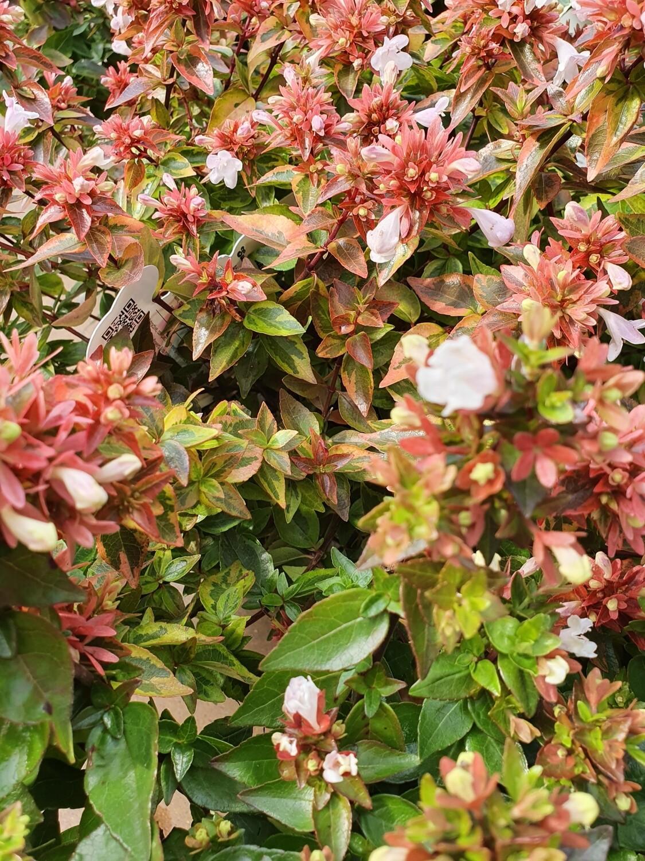 Abelia grandiflora 'little lady', pot de 19 cm