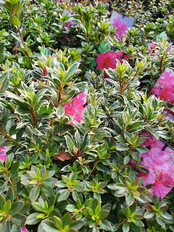 Azalea japonica variés, pot de 3 L
