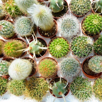 Cactus-1.5