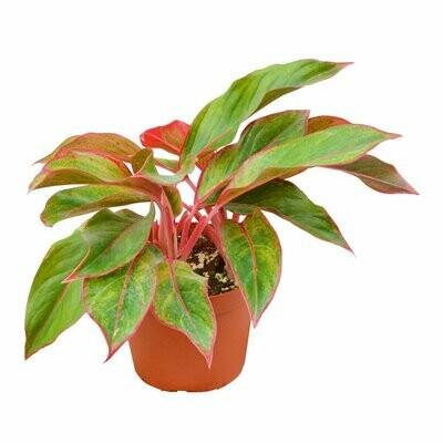 Chinese Evergreen Creta Red Siam 6