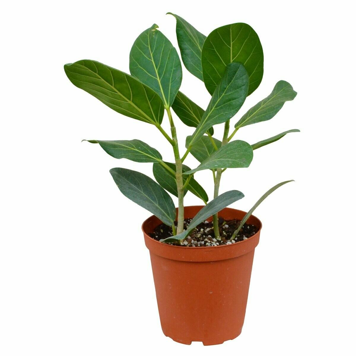 Ficus  Audrey 6