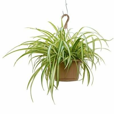 Spider Plant 10