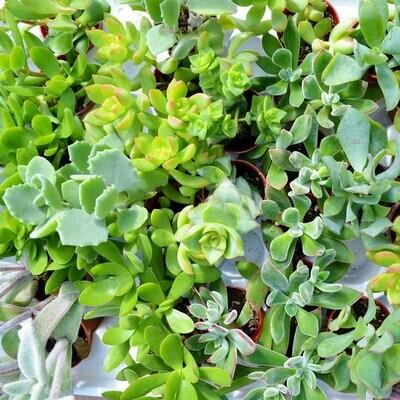 Succulent-Assorted -2.25