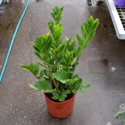 ZZ Plant 10