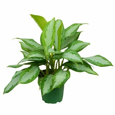 Chinese Evergreen Silver Bay 6