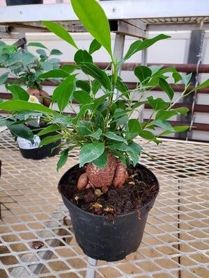 Ficus Microcarpa Ginseng 6