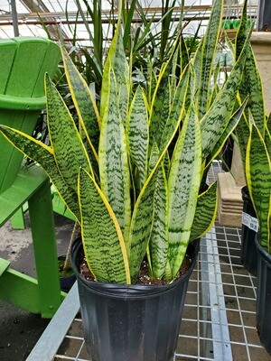 Snake Plant Laurentii 10