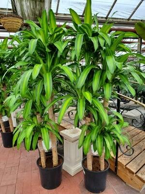 Corn Plant 5-4-3-2 14