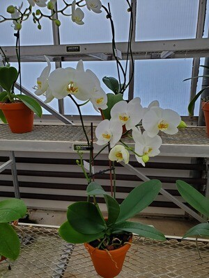 Phalaenopsis Orchid 2 Stem