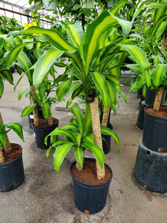 Corn Plant 2-1 10