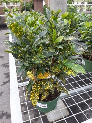 Croton Gold Dust 6