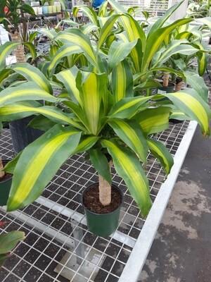 Corn Plant 7
