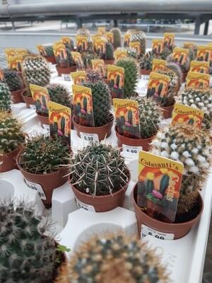 Cactus-Assorted 2.5