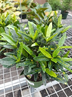 Croton 6