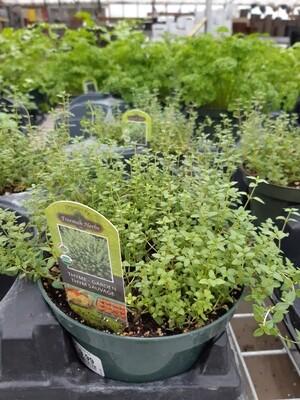 Garden Thyme 6