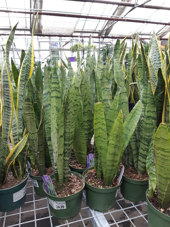 Snake Plant Zeylanica 6