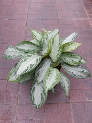 Chinese Evergreen Silver Bay 8