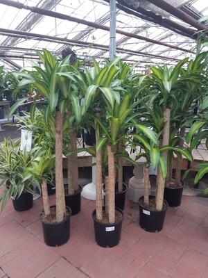 Corn Plant 5-4-3 12