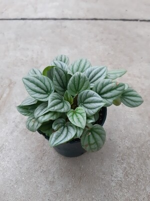 Peperomia Frost 4