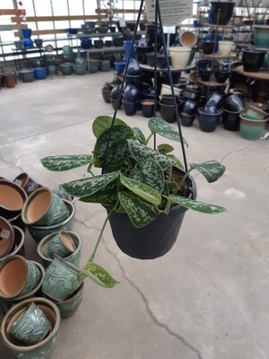 Philodendron Silver Cloud 6