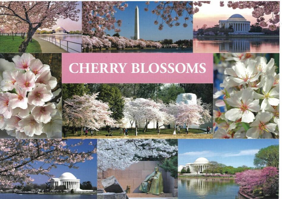 Sticker Postcard Cherry Blossoms