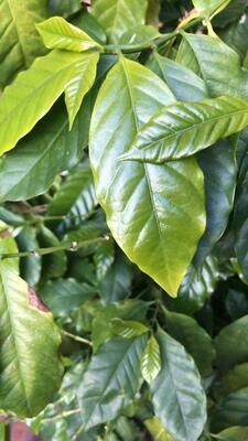 Green coffee leaves / Hojas verdes del árbol del café ( cafeto ) - Bolsas de 3 grs. aprox. (5-10 hojas)