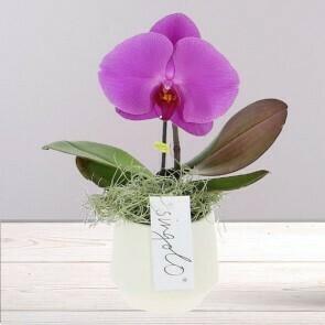 Orchidée Singolo
