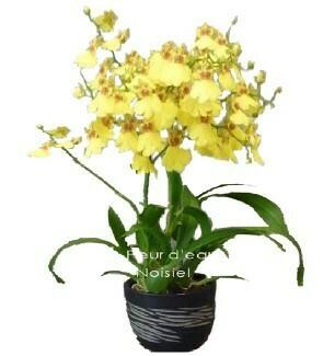Orchidée Oncidium