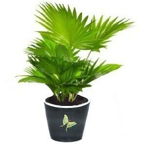 Palmier d'intérieur