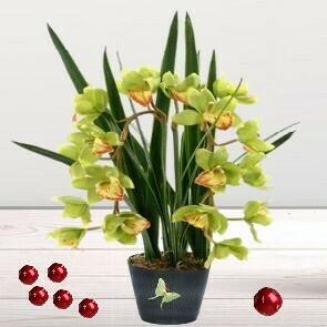 Orchidée Cymbidium
