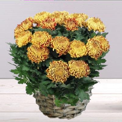 Chrysanthème or