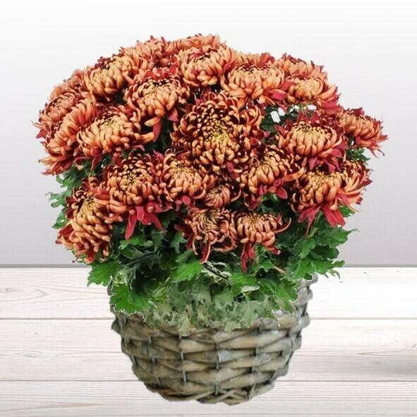 Chrysanthème marron