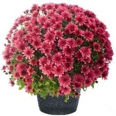 Chrysanthème fuchsia