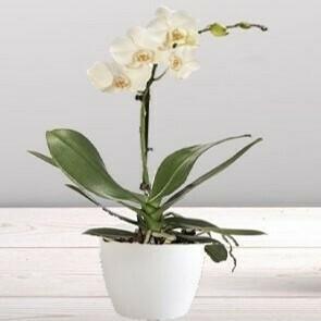 Orchidée blanche 1 branche