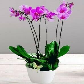Orchidées rose 3/4 branches