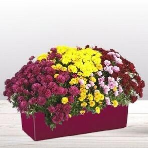 Chrysanthèmes variés