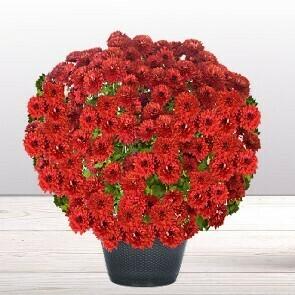 Chrysanthème rouge/bordeaux