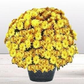 Chrysanthème jaune/orangé